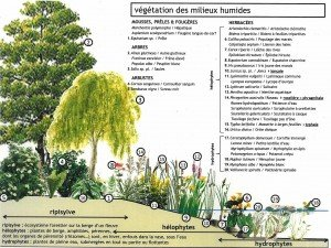 végétation des milieux humides et aquatiques : plantes indigènes de ripisylve, hélophytes et hydrophytes