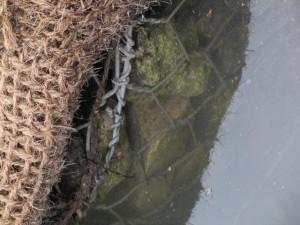 rivi%C3%A8re-%C3%A9cologique-Bois-de-Boulogne-image-Paul-Robert-TAKACS-17-juin-2010-159-300x225 dans plantes de terrains humides & aquatiques