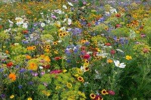 PRAIRIES (FLEURIES) dans pelouses, gazons & prairies 386419_519252644753529_1920687411_n-300x200