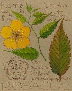 Kerria japonica, la Corête du Japon, doit être taillée peu après la floraison (dessin Paul-Robert TAKACS)