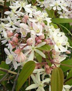 Clematis armandii 'Apple blossom' (RANUNCULACEAE) : à tailler après la floraison