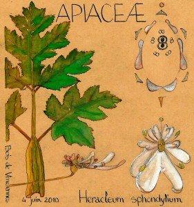 Heracleum sphondylium (APIACEAE) - dessin Paul-Robert TAKACS