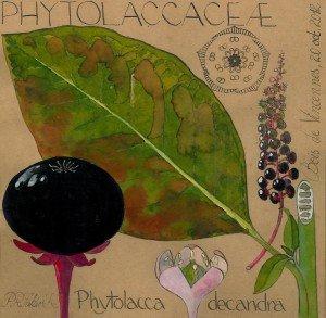 Phytolacca americana (PHYTOLACCACEAE) - dessin Paul-Robert TAKACS