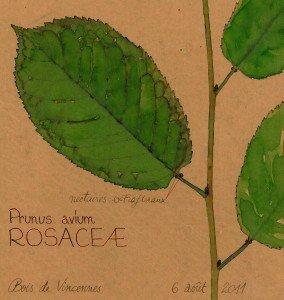 nectaires de Prunus avium (ROSACEAE) - dessin Paul-Robert TAKACS