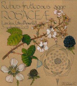 Rubus fruticosus (ROSACEAE) - dessin Paul-Robert TAKACS