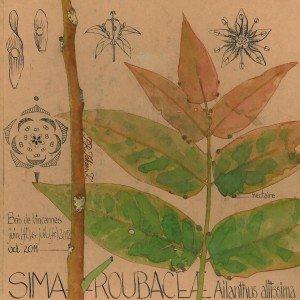 Ailanthus altissima (SIMAROUBACEAE), essence invasive - dessin Paul-Robert TAKACS