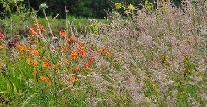 prairies (fleuries) dans pelouses, gazons & prairies 10513504_1459741460942142_7253869836901096310_n-300x155